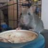 Photographier les ratous : flash ou pas flash ? - dernier message par Lifred