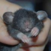 Ado-Rats-Ble d'AS